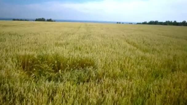 Légi átrepülési sárga búza mezők