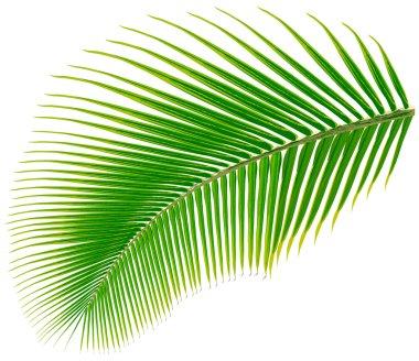 Palm tree leaf, vector illustration