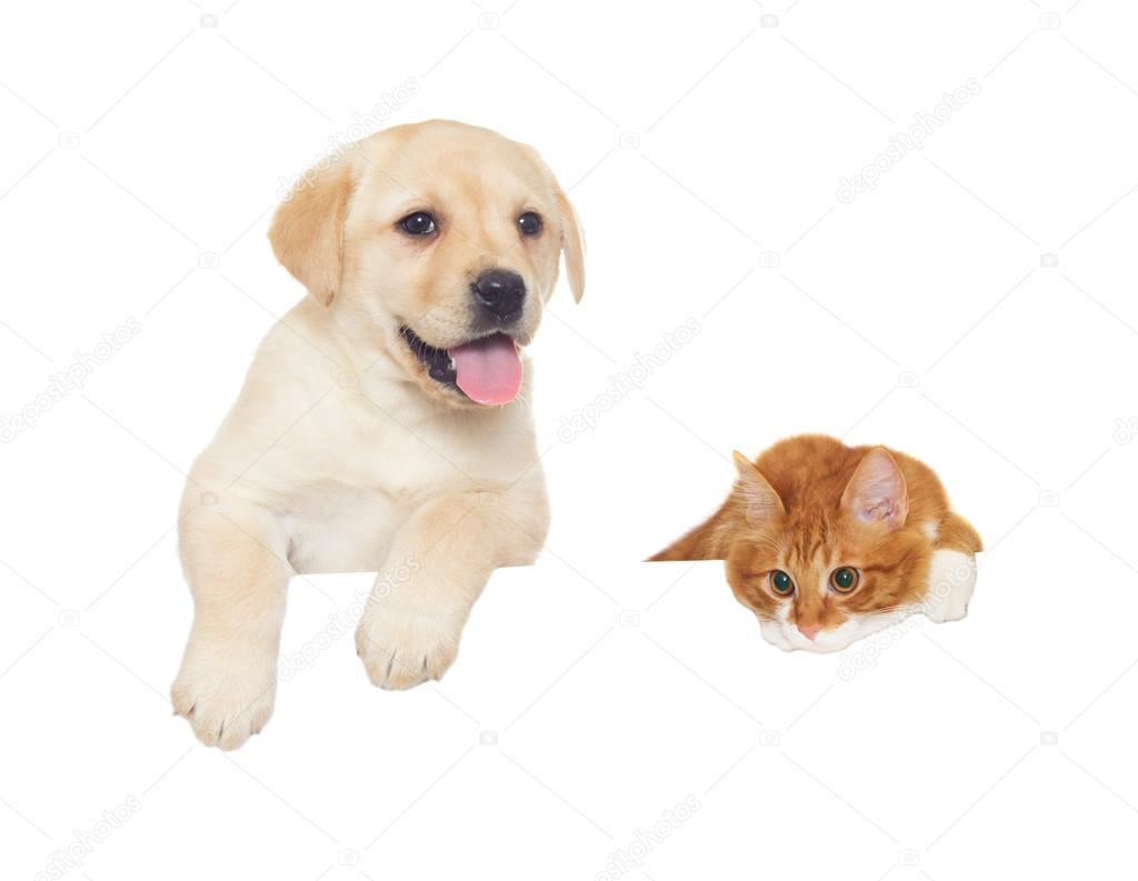 Gatto Rosso E Sguardi Cucciolo Labrador Foto Stock