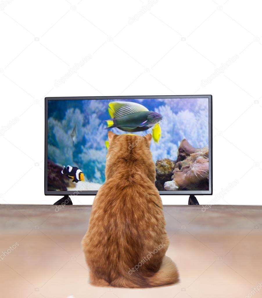 Katze Vor Dem Fernseher Bild: Ingwer Katze Vor Dem Fernseher