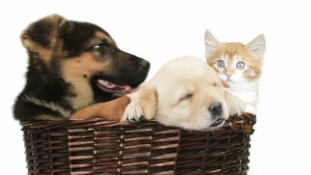 Cuccioli Di Labrador E Pastore Tedesco E Gatto Dello Zenzero In Un