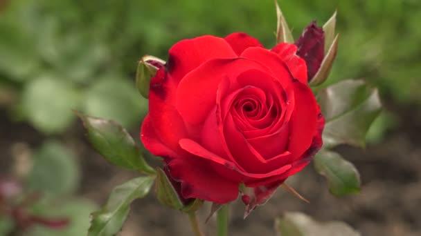 A piros rózsa. 4k.