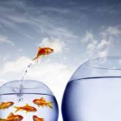 Fotografie Goldfische springen aus dem Wasser aus einer überfüllten Schale