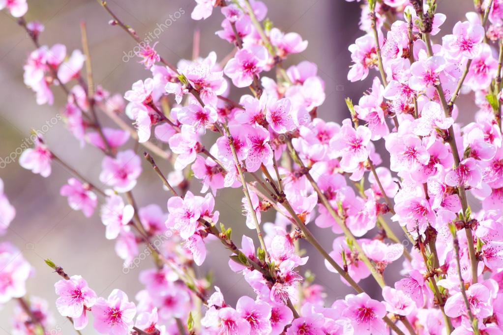 Fiore Di Pesco Fiore Su Sfondo Rosa Foto Stock Alinbrotea 106506010