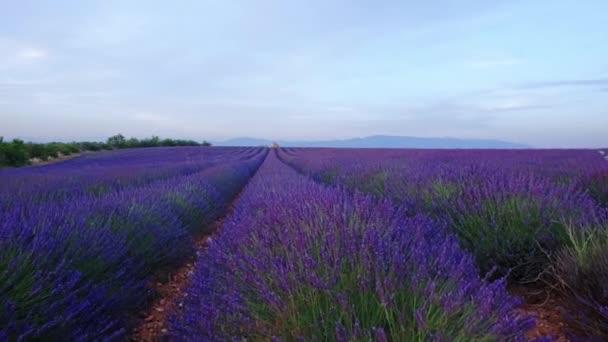 fialové levandule pole