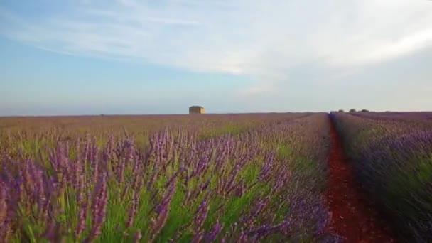 Chůze na poli levandule rostlin při západu slunce
