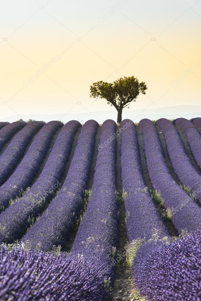Фотообои Lavender field Summer sunset landscape