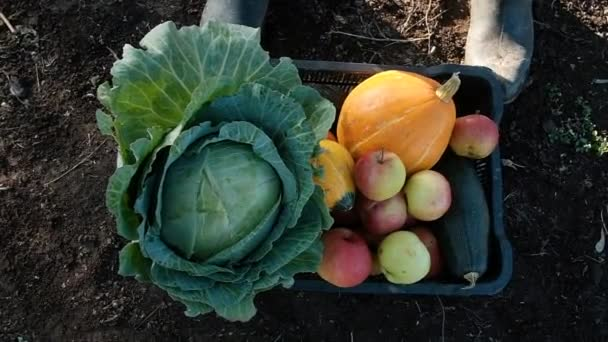 farmer walking across the field with a full box of vegetables. Cabbage, pumpkin and apples. Real Workflow Harvesting Organic Eco Farm Slow Motion Healthy Eating Concept