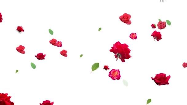 Die Animation von Rosenblüten wird auf weißem Hintergrund erzeugt. die Größe.
