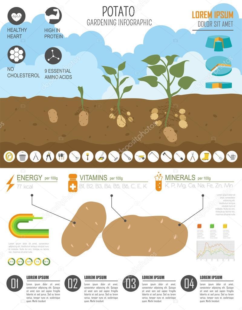 Trabajo de jardinería, cultivo infografía. Papa. Plantilla de ...