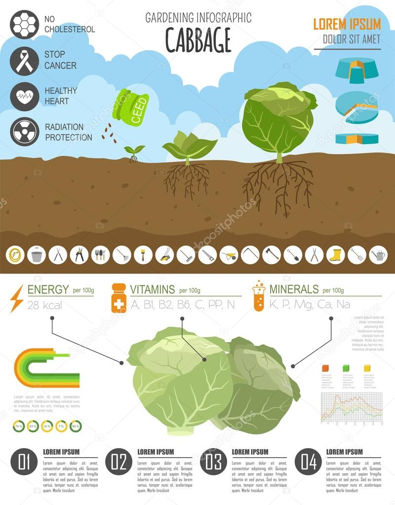 Gardening work, farming infographic. Cabbage. Graphic template.