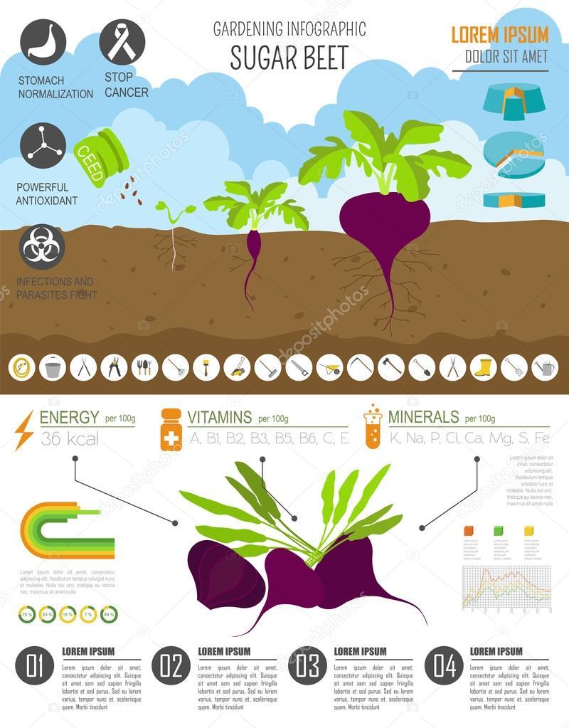 Trabajo de jardinería, cultivo infografía. Azúcar de remolacha ...
