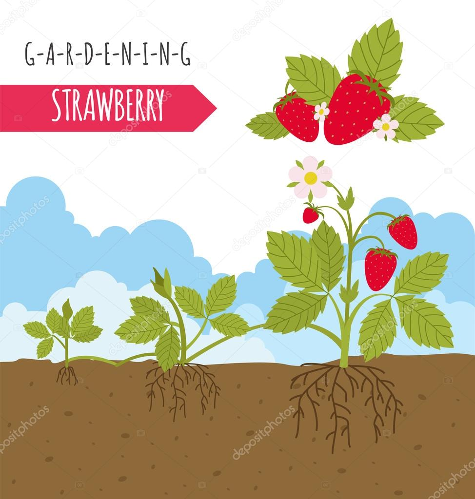 Trabajo de jardinería, cultivo infografía. Fresa. Plantilla gráfico ...