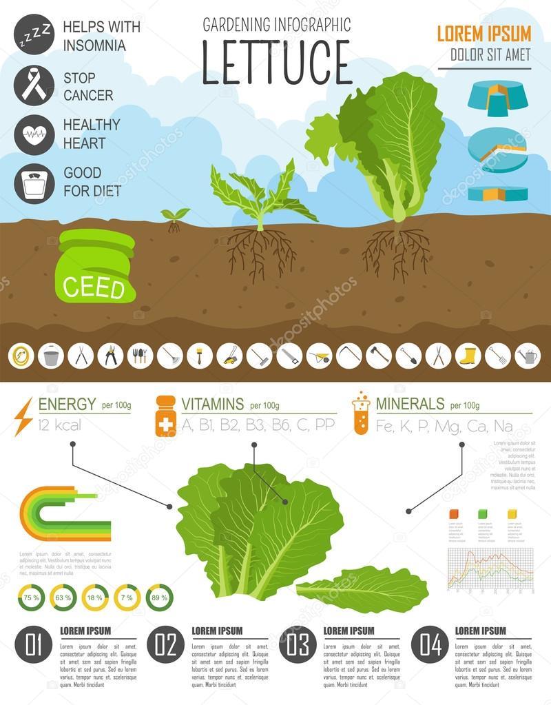 Trabajo de jardinería, cultivo infografía. Lechuga. Plantilla de ...