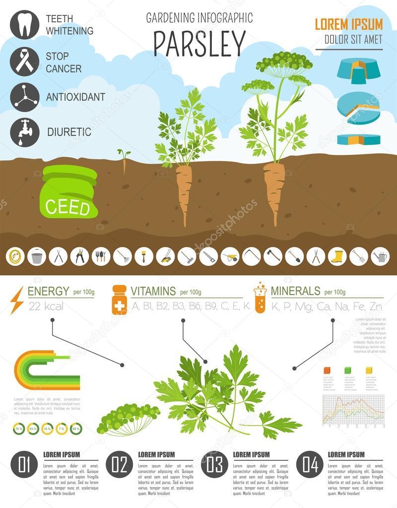 Trabajo de jardinería, cultivo infografía. Perejil. Plantilla de ...
