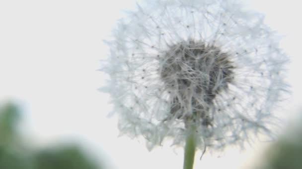 Makró fehér bolyhos pitypang virág
