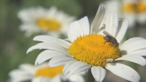 Macro of chamomile flower with a fly