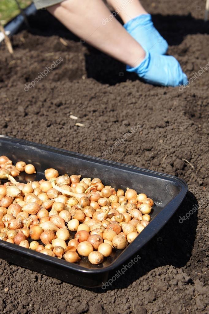 Gardener planting onions in the vegetable garden