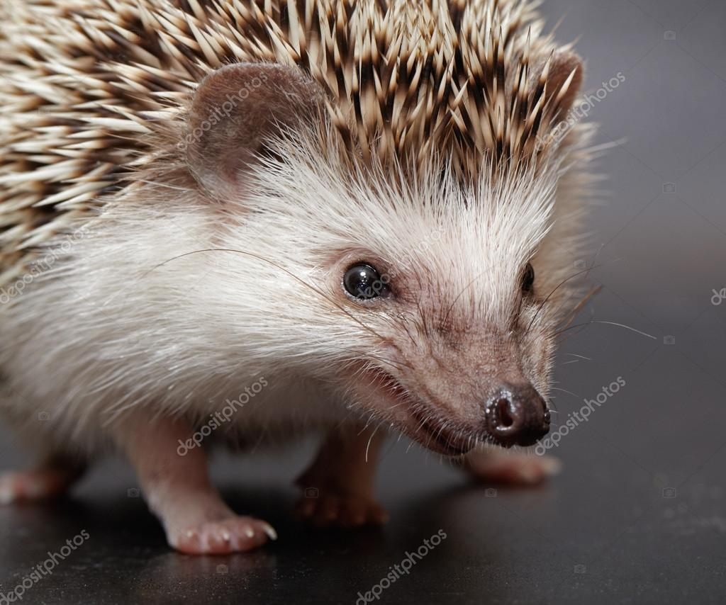 angry hedgehog looks at you � stock photo 169 abramovtv