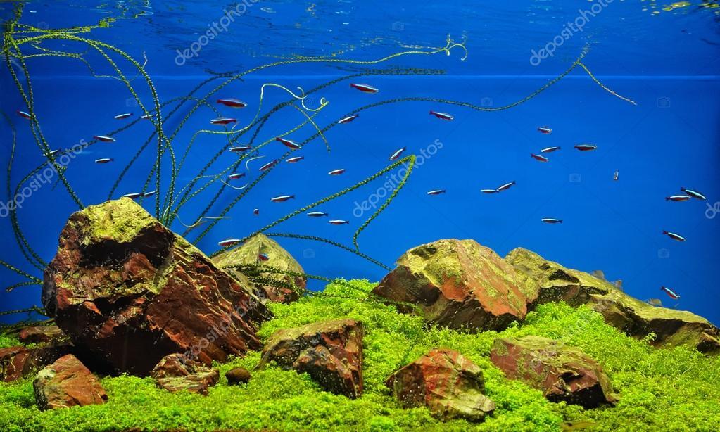 Pesci al neon in acquario d 39 acqua dolce foto stock for Neon pesci prezzo