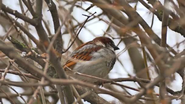 sparrow hnědý pták sedící na větvi stromu přírody