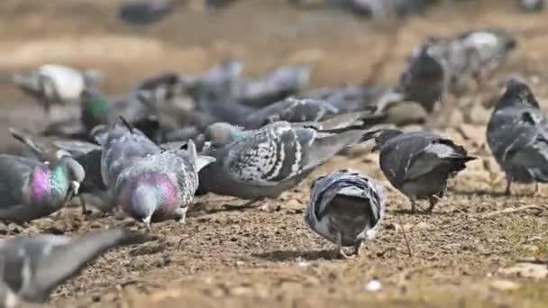 flock of pigeons sitting on the dove brown earth bird pecks grain
