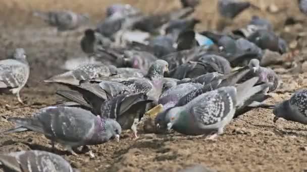 flock dove of pigeons sitting on the brown earth bird grain pecks