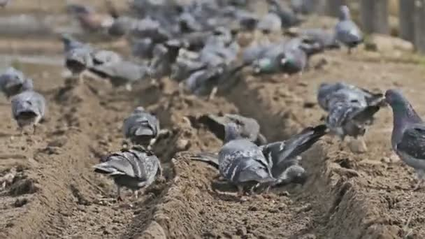 flock of pigeons dove sitting on the brown earth bird pecks grain