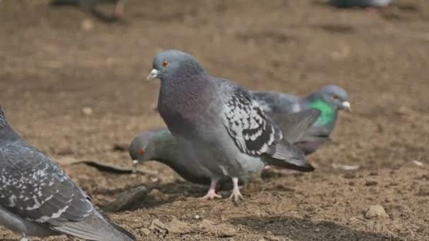 flock of pigeons sitting on the brown earth bird dove grain pecks