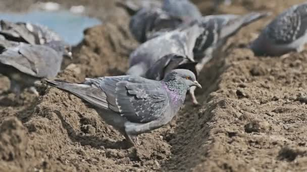 flock of pigeons sitting on the brown earth dove bird pecks grain