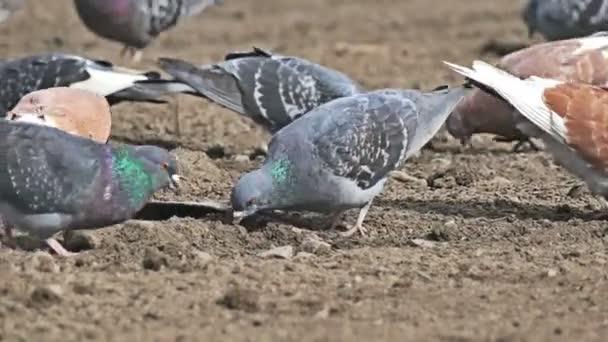 flock of pigeons sitting on the brown dove earth bird pecks grain