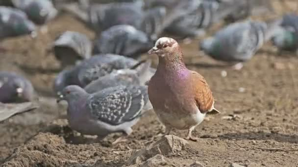 flock of pigeons sitting on the dove brown earth bird grain pecks