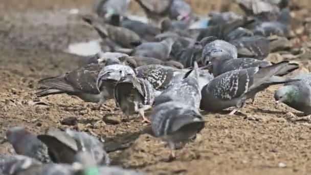 flock dove of pigeons sitting on the brown earth bird pecks grain