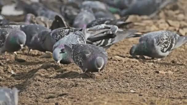 flock of pigeons sitting dove on the brown earth bird grain pecks