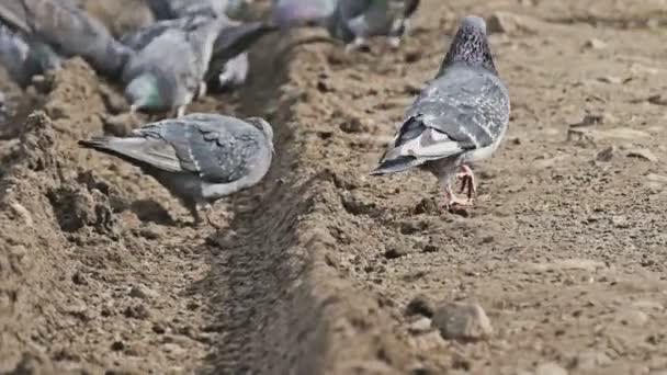 flock of pigeons sitting on the brown earth bird pecks grain dove