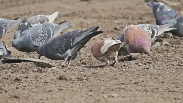 flock of pigeons sitting on the brown earth bird pecks dove grain