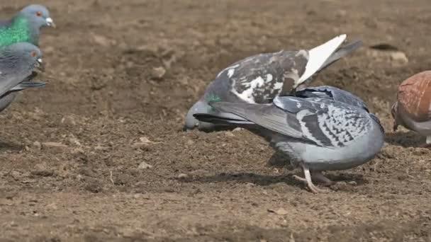 flock of pigeons sitting on the brown earth dove bird grain pecks