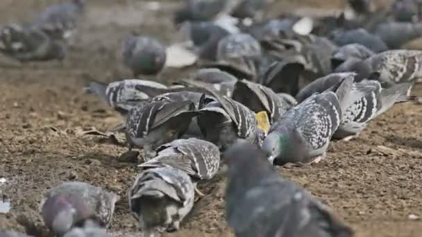 flock of pigeons dove sitting on the brown earth bird grain pecks