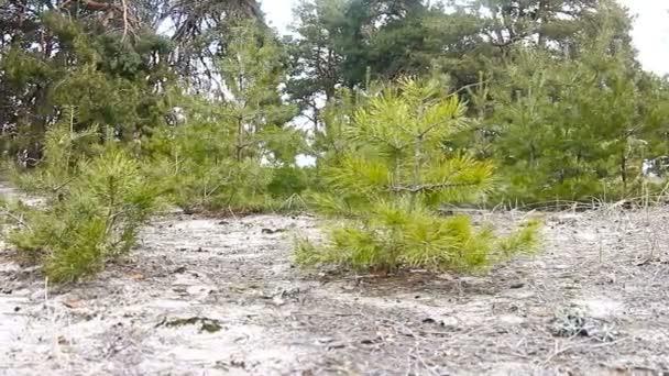 fiatal fák fenyő fa erdő természetvédelmi táj