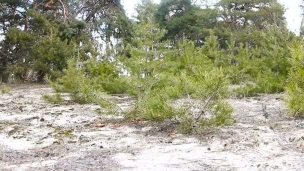 mladé stromky borovice strom Lesní krajina příroda