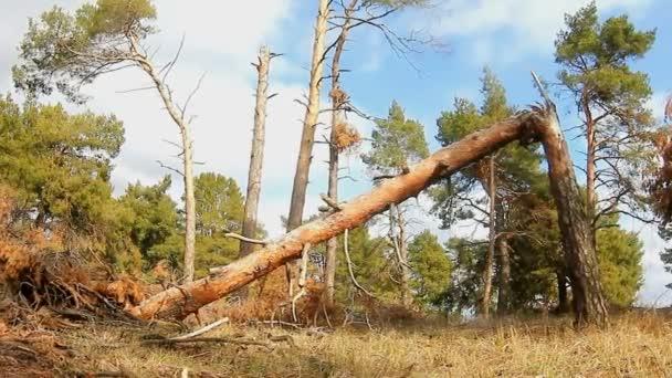 Wald Kiefer gebrochen Baumwipfel in blauer Natur Himmel Fällung von Holzstämmen Landschaft