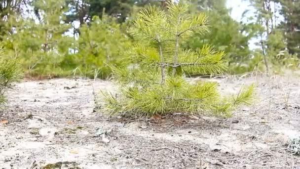 fiatal fák fenyő táj fa erdő természetvédelmi
