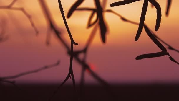 nyír naplemente ág fa sziluettje a narancssárga természetvédelmi táj