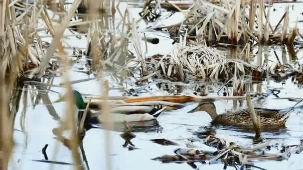 pták Černý dvě divoké kachny plave na vodě, v podmínkách přírodních rákosí jezero