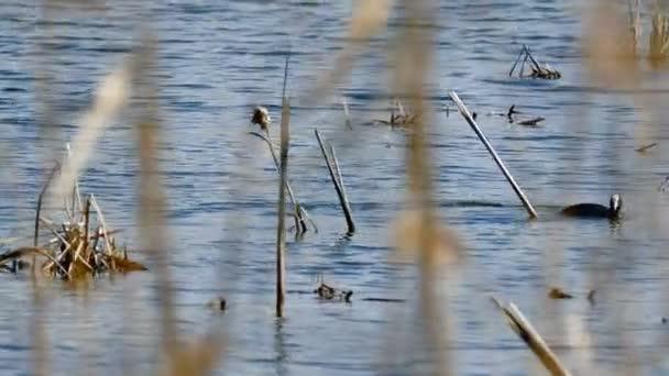 pták Černý divoká kachna plave na vodě v rákosí jezero přírodní podmínky