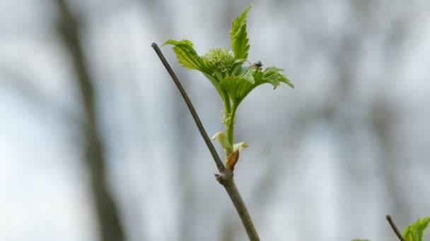 Javor větve s listy a brouk velké makra příroda jarní krajina