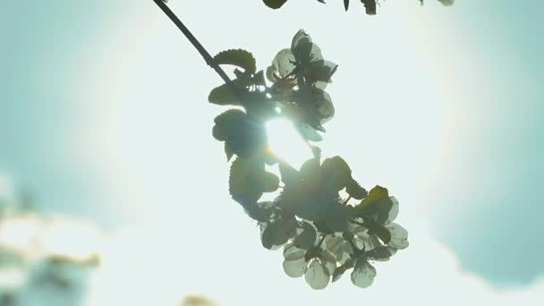 il sole splende video al rallentatore ramoscello albero apple