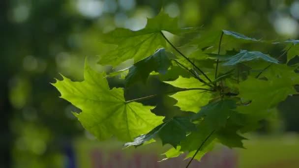 Maple tree leaves bokeh green background