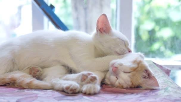 white kitten sleeping cat on a red kitten friendship funny pets