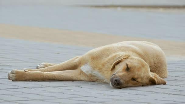 na chodníku spící pes zpomalené video